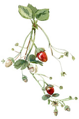 Branch with strawberries