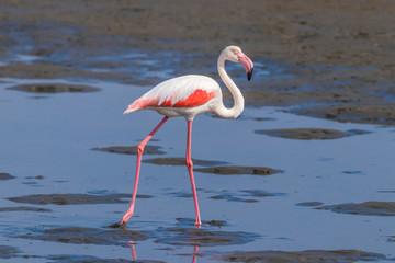 Greater Flamingo ( Phoenicopterus ruber roseus) walking, Walvis bay, Namibia.
