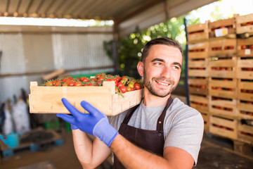Young man farm worker with full box of red cherry tomatoes in greenhouse. Tomatoes harvest. Bio vegan vegetables.