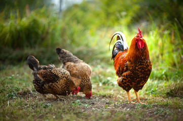 Beautiful cock and his chicken breed Kuchinskaya-anniversary lazily walking on the grass in the garden in the soft rays of sunset
