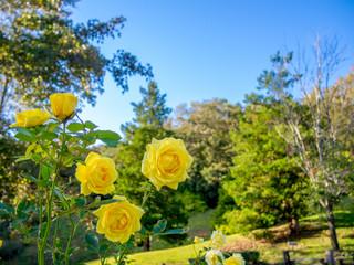 【静岡県】公園に咲く黄色いバラ【伊豆修善寺虹の郷】