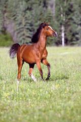 Playful Bay Arabian Colt  running in green grass summer pasture.