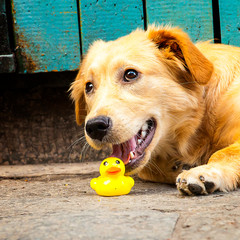 Dog chewing toy yellow rubber duck