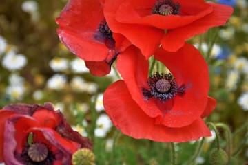 Red poppy in the garden.