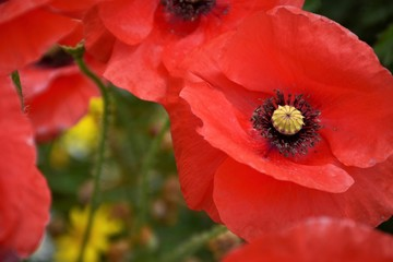 Red poppy in the garden