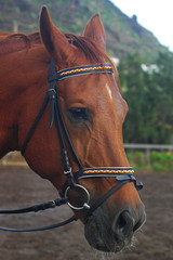 Chestnut sorrel Arabian horse with bridle with headstall and reins, close up profile of forehead, muzzle and chin groove, beautiful domestic animal used for sports such as equestrianism or for work
