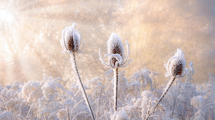 Dried wild teasel flower heads covered with hoarfrost