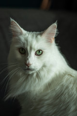 Maine Coon Cat Male