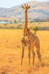 Front view of African giraffe standing in Pilanesberg National Park with savannah landscape on blurred background. South Africa game drive safari. Vertical shot.