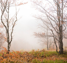 Natural background.Beautiful autumnal forest. Trees in the fog.