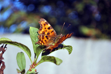 Aglais butterfly sitting on green leaf, soft blurry background