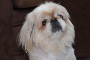 Close up portrait of a pekingese dog