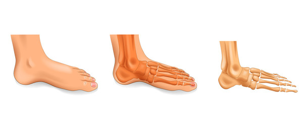 ankle, foot bones