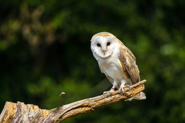 Barn owl in dried field Fototapete