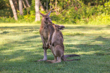 Young kangaroo kisses mother. Two kangaroos in Australia. Parental love