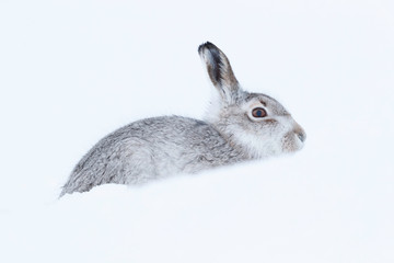 Picture show a wild mountain hare sitting on snow in the Scottish highlands national park,  the Cairngorms.  These hares (rabbits) are native to the British Isle and leave on higher ground