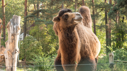 Camel in zoo. Concept: Outdoors, Zoo, Safari, Nature Reserve.