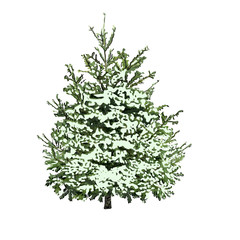 Fir-tree with green needles under snow