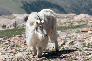 The Mountain Goats of Mt. Evans 3