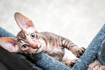 Portrait of a Cornish Rex breed cat. The kitten looks into the frame.
