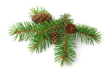 Green spruce branch with cones
