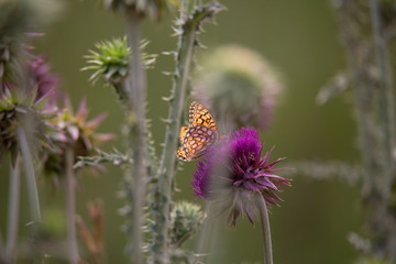 Thistles with Butterfly