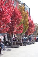 maple tree in the fall season