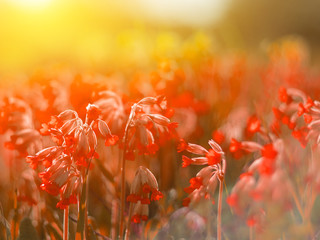 Spring background with beautiful red flowers. Sunlight