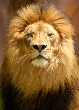 Male lion profile with watchful eyes and handsome gaze