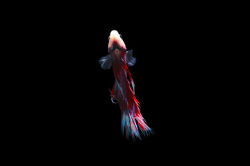 Foto op Canvas Vissen Colourful Betta fish,Siamese fighting fish in movement isolated