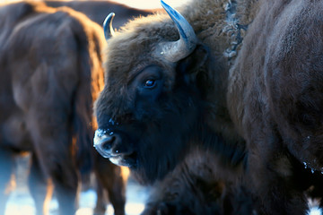 Canvas Prints Bison Aurochs bison in nature / winter season, bison in a snowy field, a large bull bufalo