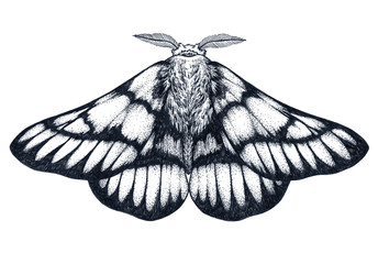 Hand drawn butterfly tattoo. Dotwork tattoo. Hemileuca griffini. Griffin's sheepmoth or Canadian fleabane moth.