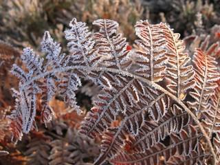 Frosty fern leaf