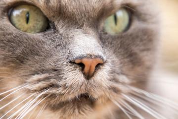 Gatto grigio dal pelo lungo