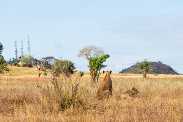 Group of lions in Kenya, Africa