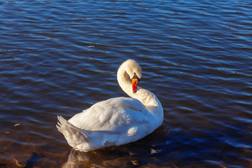 Swan on Main river in Miltenberg , Germany