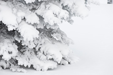 Snow covered spruce tree branches.