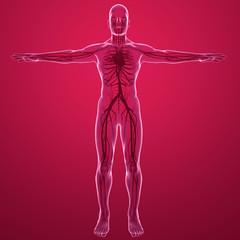 Corpo umano, vista ai raggi x del sistema circolatorio con cuore arterie e vene. Anatomia e circolazione del sangue
