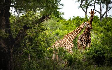 Giraffes in Pairs