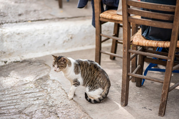 A beautiful stray cat begs for food, hanging around restaurant tables in the famous Plaka neighborhood of Athens, Greece.