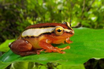 Canvas Prints Frog Mitchellis Riedfrosch (Hyperolius mitchelli) - Mitchell's reed frog