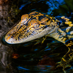 Portrait of a baby alligator