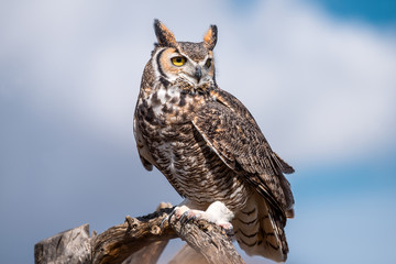 Fotobehang Uil great horned owl