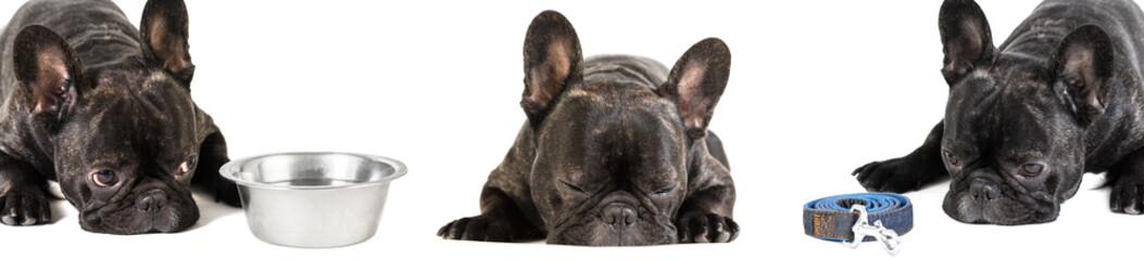 French bulldog lying, photo set