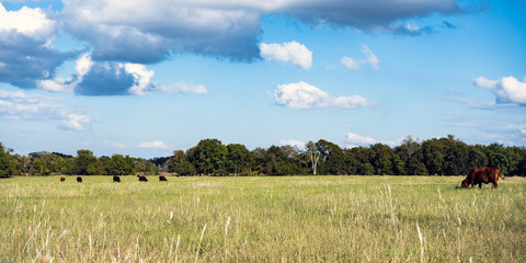 Ag web banner of cattle grazing in pasture