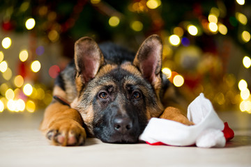 German Shepherd dog at the age of 3 months is lying on the floor near a Christmas tree putting his paw on the hood