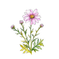 Watercolor drawing of a chrysanthemum flower,  bouquet