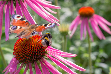 Red Admiral Butterfly on a flowers of red color in a garden