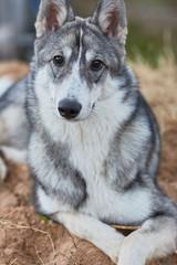 West Siberian Laika puppy 6 mounth