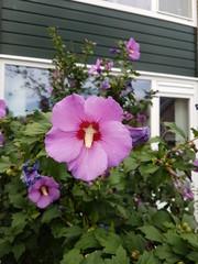 Pink hibiscus flower in the garden in Nieuwerkerk aan den ijssel